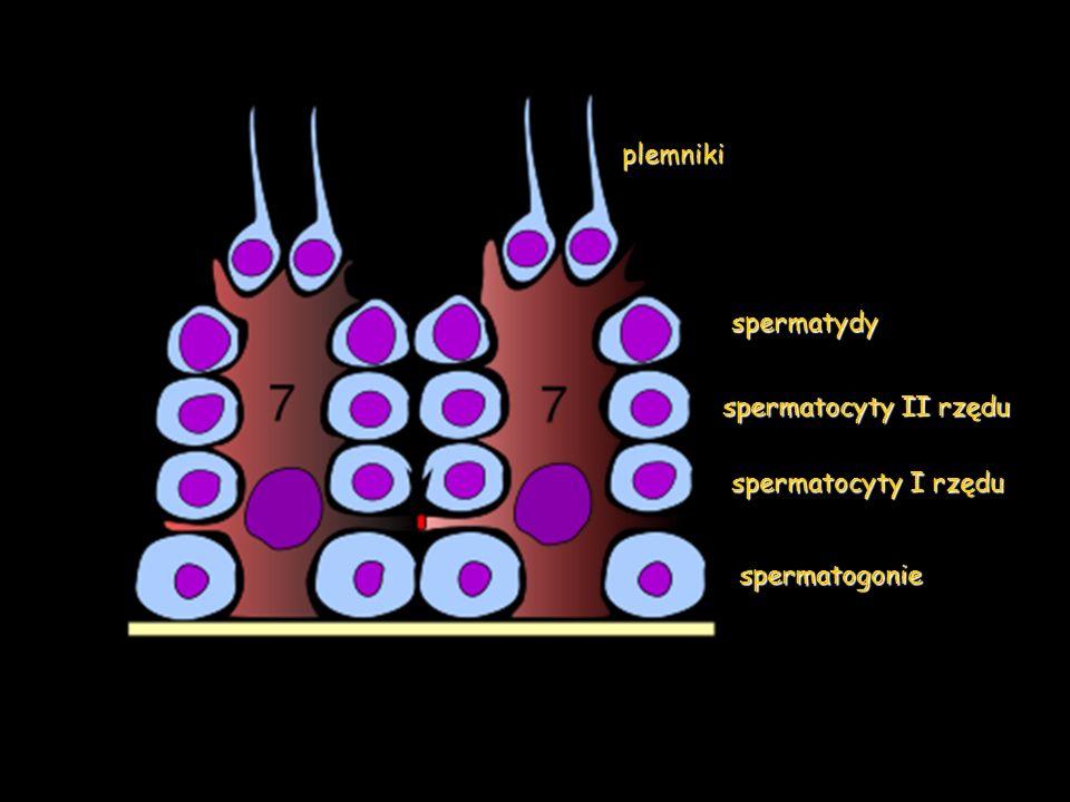 plemniki spermatydy spermatocyty II rzędu spermatocyty I rzędu spermatogonie