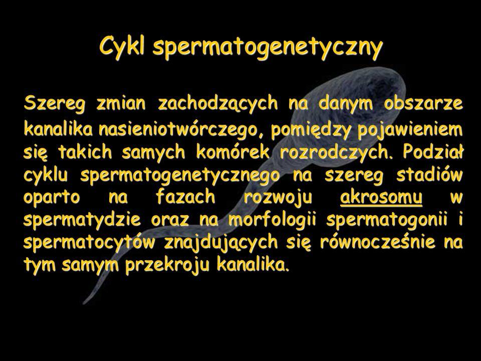 Cykl spermatogenetyczny