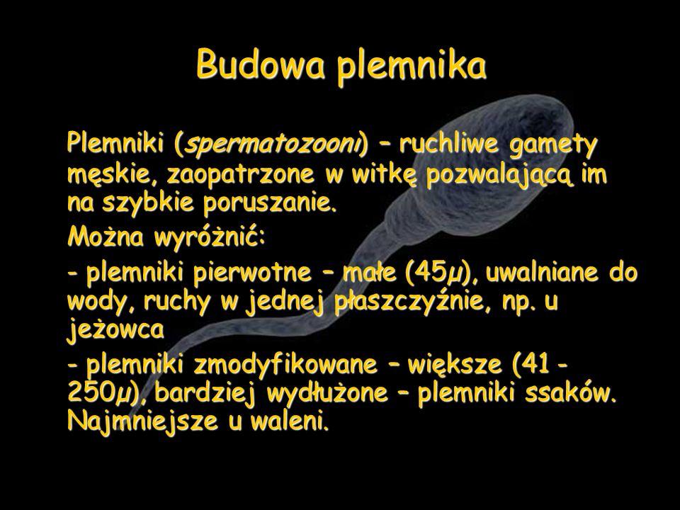 Budowa plemnika Plemniki (spermatozooni) – ruchliwe gamety męskie, zaopatrzone w witkę pozwalającą im na szybkie poruszanie.