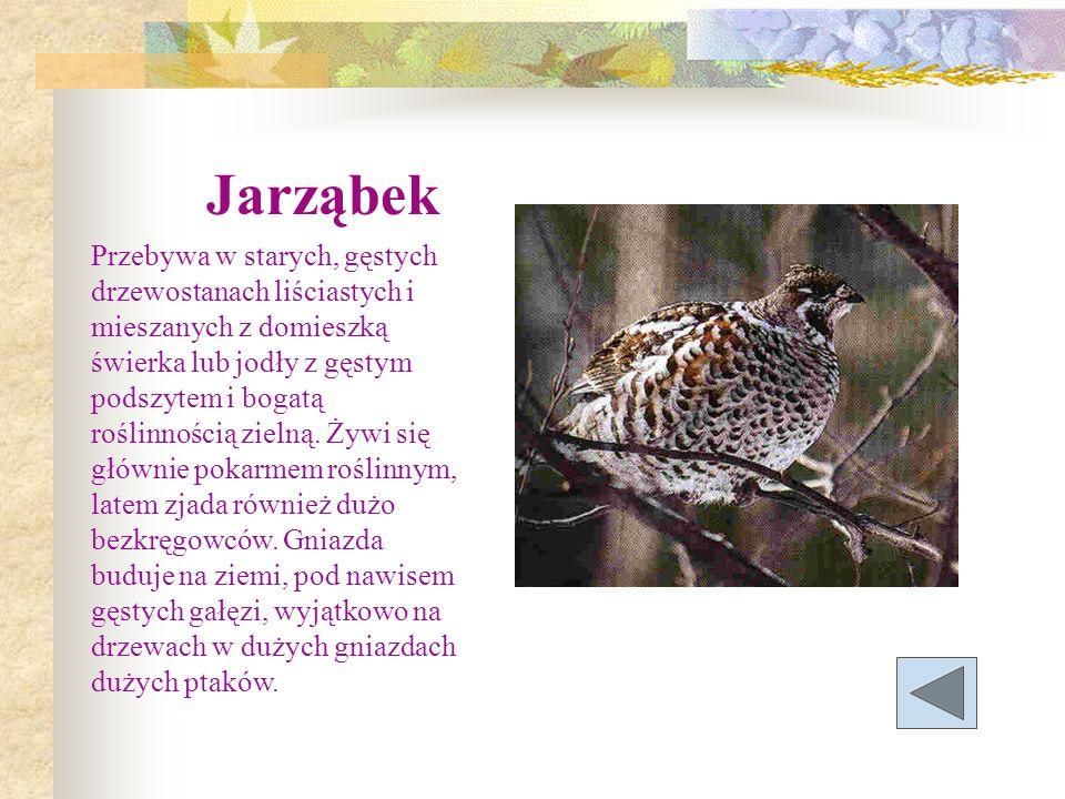 Jarząbek