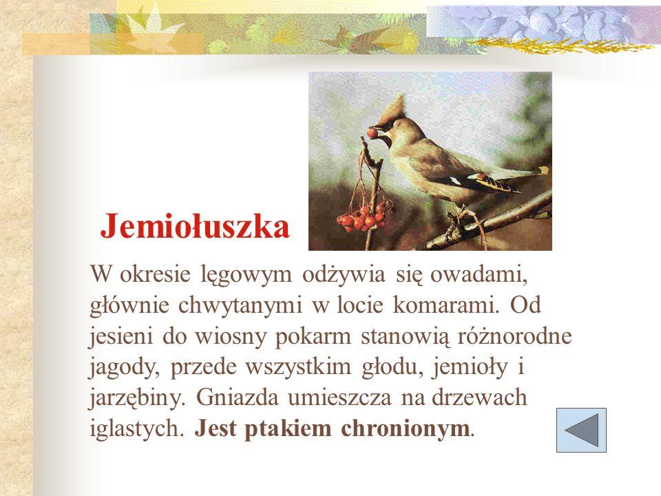 Jemiołuszka