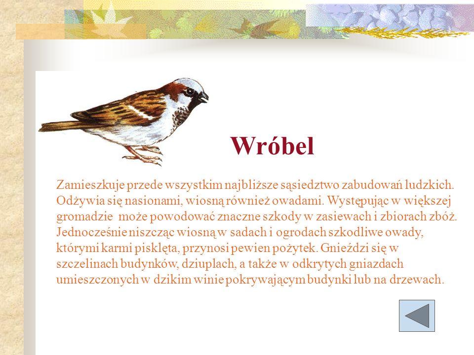 Wróbel