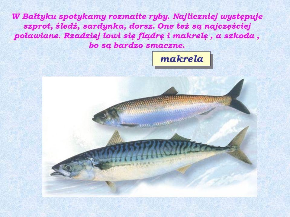 W Bałtyku spotykamy rozmaite ryby