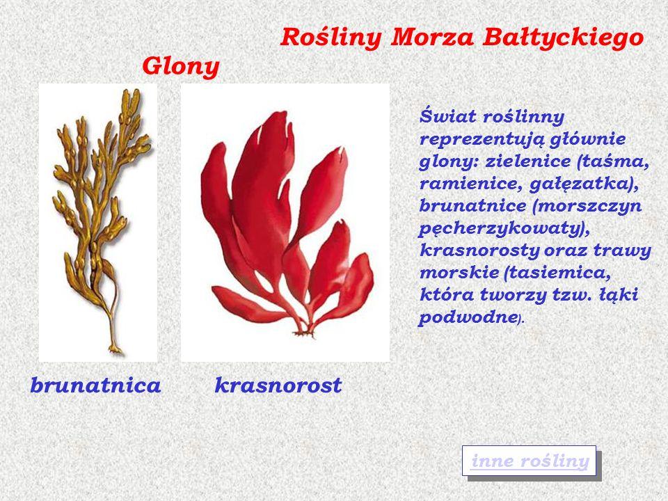 Rośliny Morza Bałtyckiego Glony