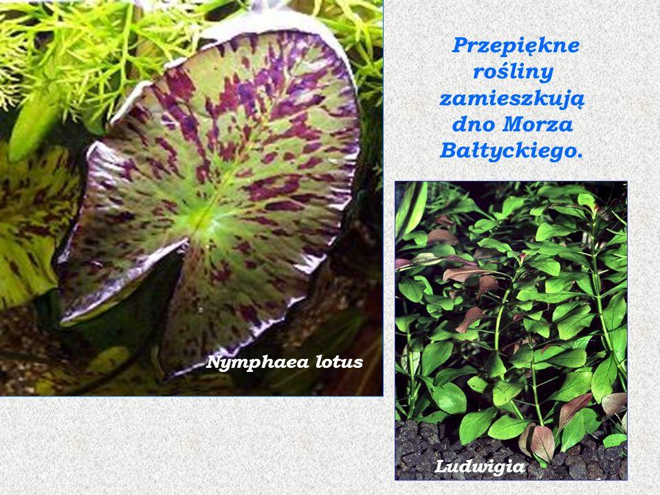Przepiękne rośliny zamieszkują dno Morza Bałtyckiego.