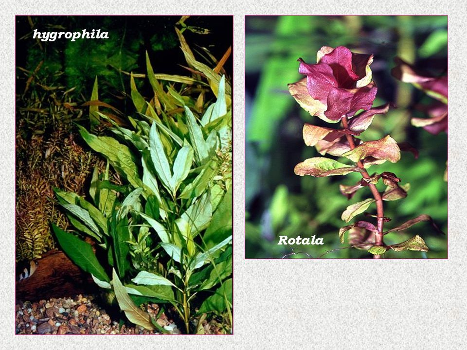 hygrophila Rotala