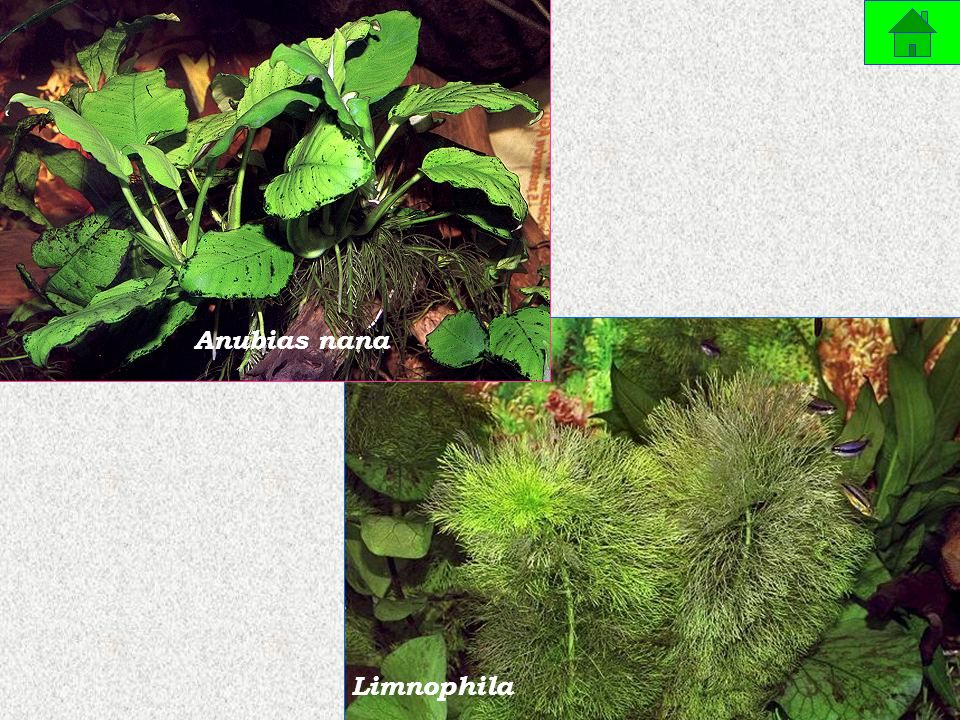 Anubias nana Limnophila