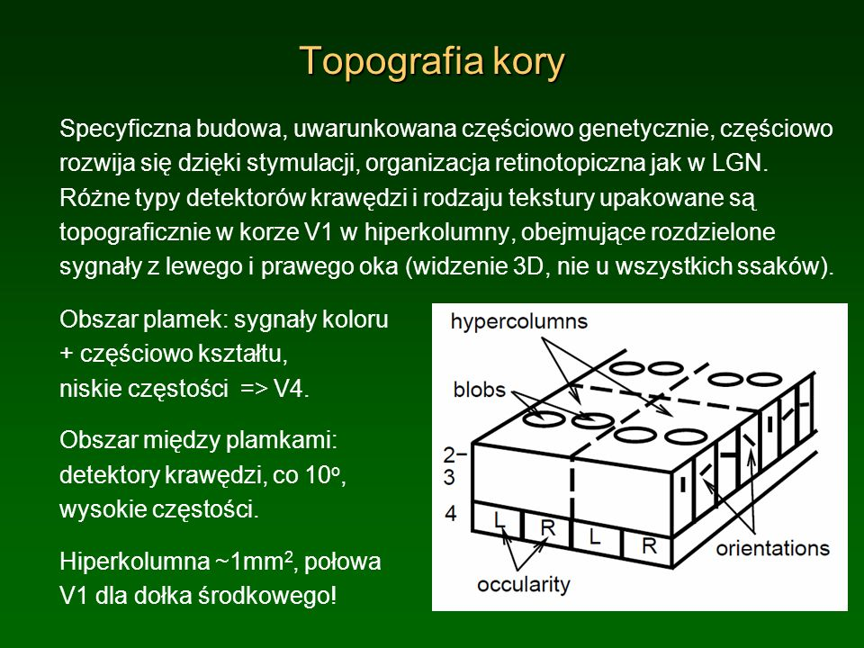 Topografia kory