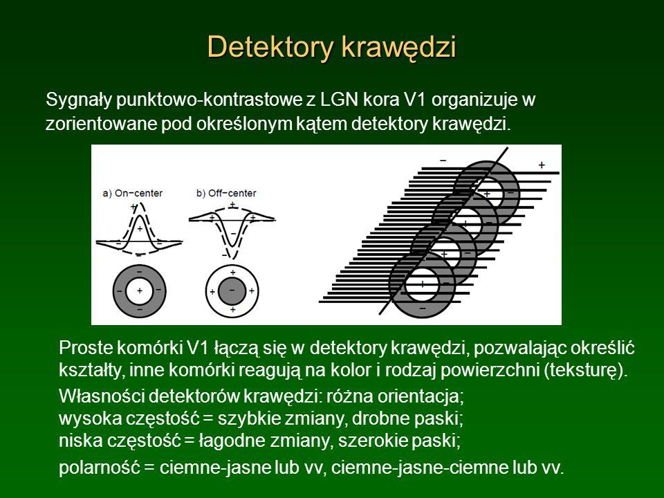 Detektory krawędzi Sygnały punktowo-kontrastowe z LGN kora V1 organizuje w. zorientowane pod określonym kątem detektory krawędzi.