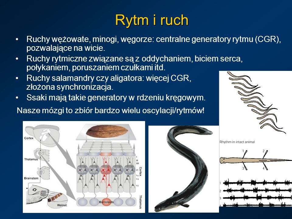 Rytm i ruch Ruchy wężowate, minogi, węgorze: centralne generatory rytmu (CGR), pozwalające na wicie.