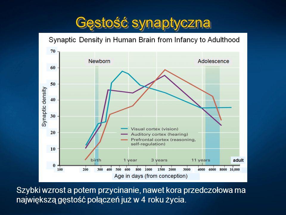 Gęstość synaptycznaSzybki wzrost a potem przycinanie, nawet kora przedczołowa ma największą gęstość połączeń już w 4 roku życia.