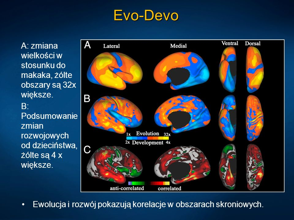 Evo-DevoA: zmiana wielkości w stosunku do makaka, żólte obszary są 32x większe.
