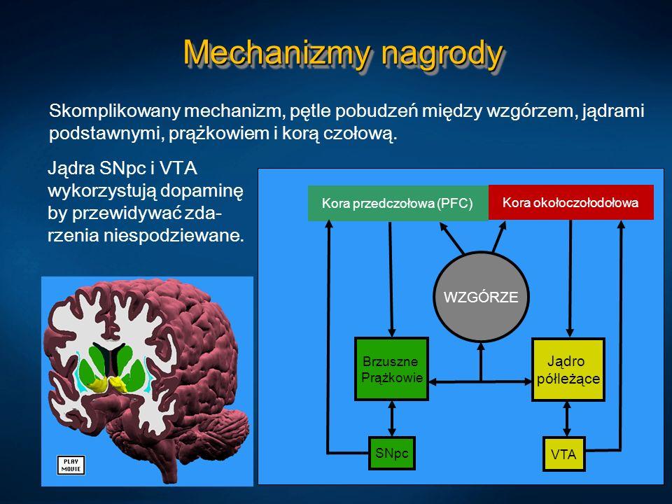 Mechanizmy nagrody Skomplikowany mechanizm, pętle pobudzeń między wzgórzem, jądrami podstawnymi, prążkowiem i korą czołową.
