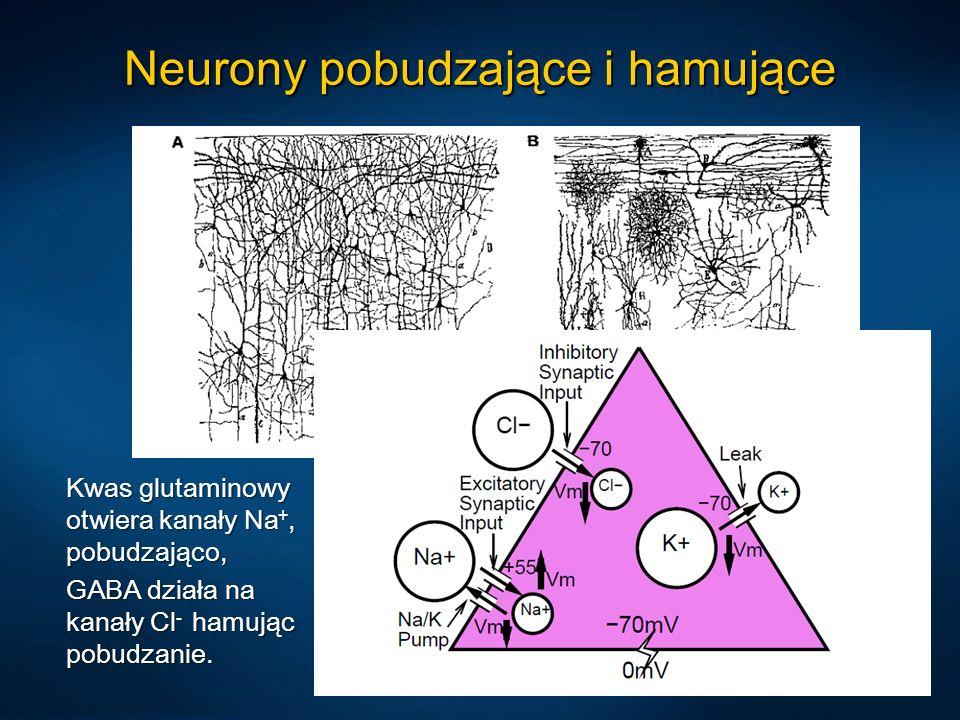Neurony pobudzające i hamujące