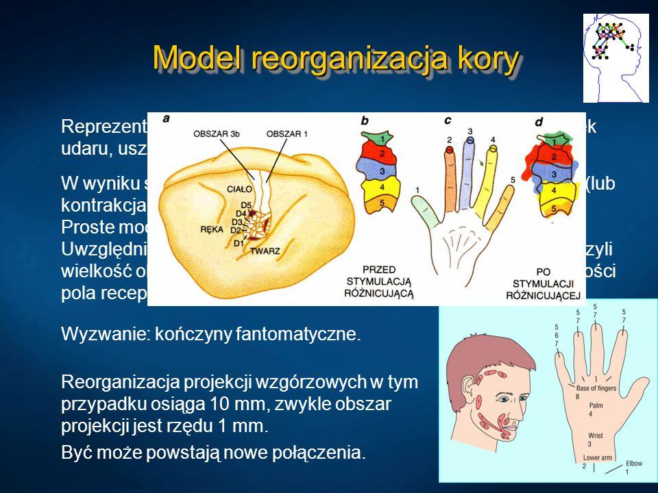 Model reorganizacja kory