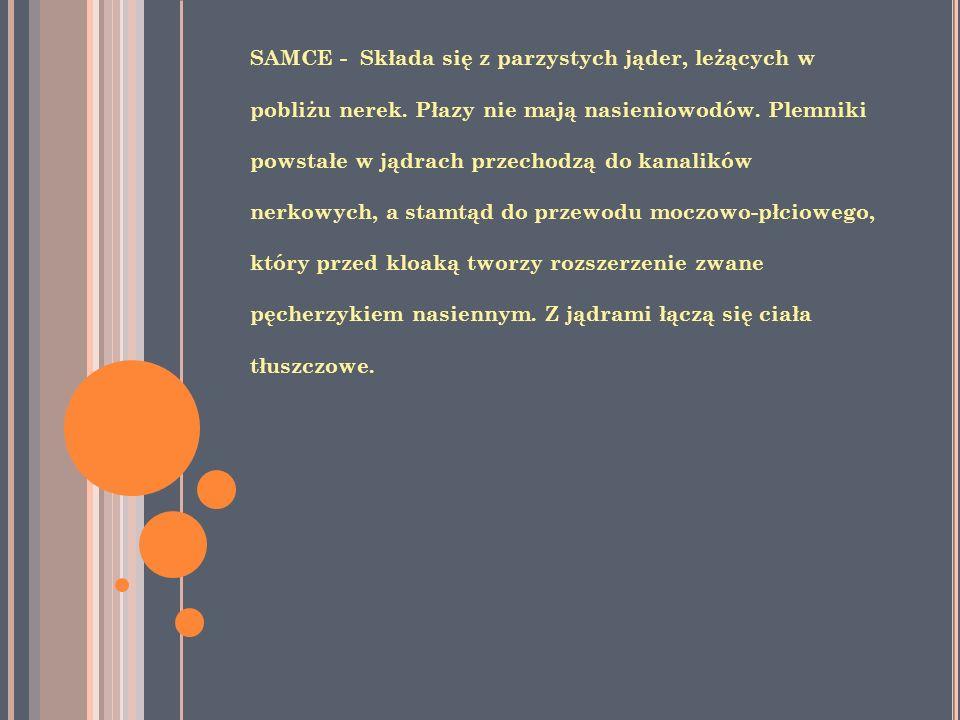SAMCE - Składa się z parzystych jąder, leżących w pobliżu nerek