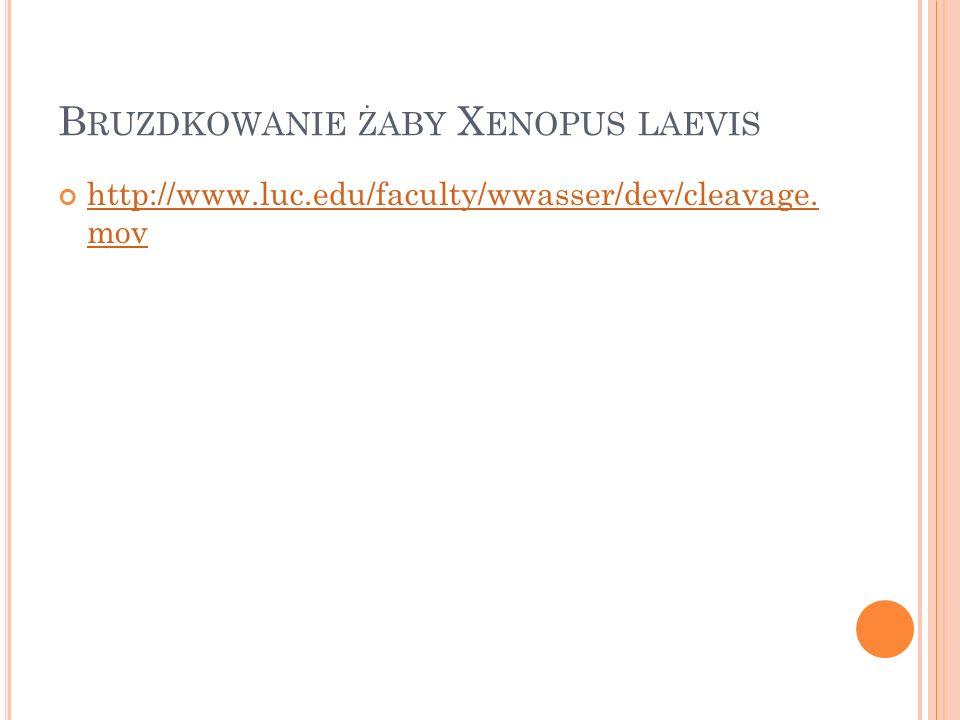 Bruzdkowanie żaby Xenopus laevis