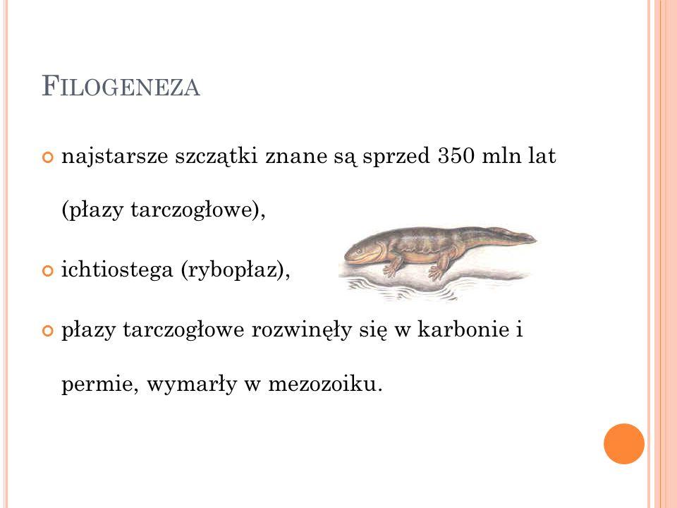 Filogeneza najstarsze szczątki znane są sprzed 350 mln lat (płazy tarczogłowe), ichtiostega (rybopłaz),