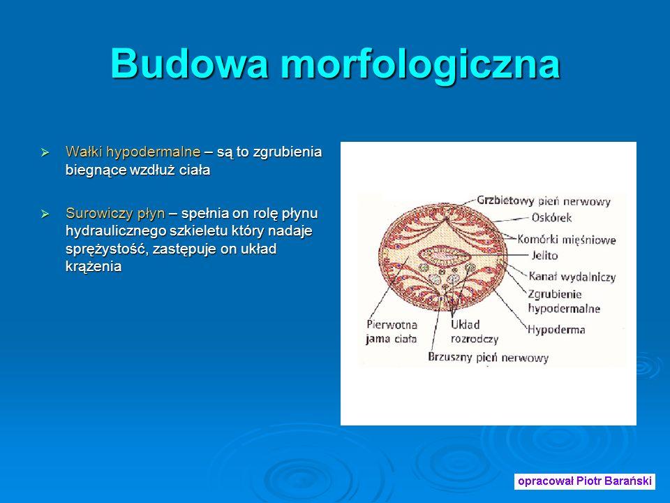 Budowa morfologiczna Wałki hypodermalne – są to zgrubienia biegnące wzdłuż ciała.