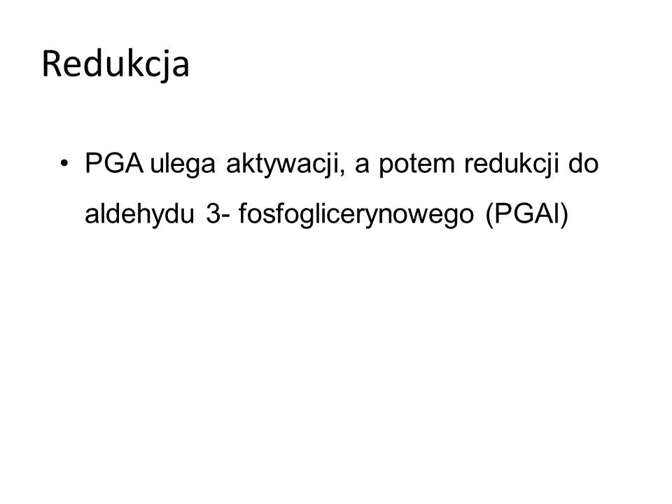 Redukcja PGA ulega aktywacji, a potem redukcji do aldehydu 3- fosfoglicerynowego (PGAl)