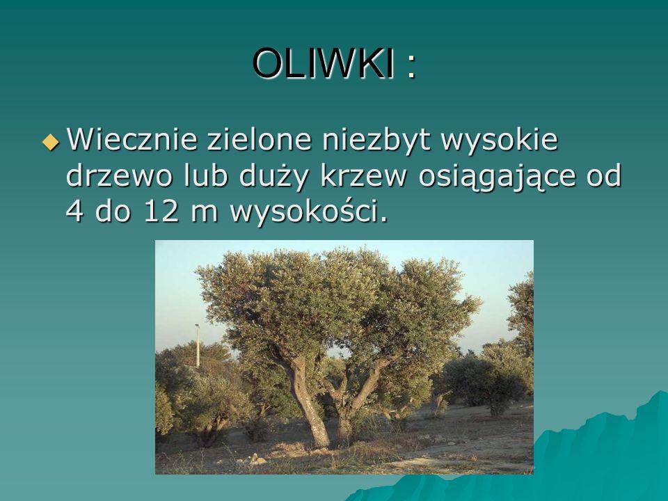OLIWKI : Wiecznie zielone niezbyt wysokie drzewo lub duży krzew osiągające od 4 do 12 m wysokości.