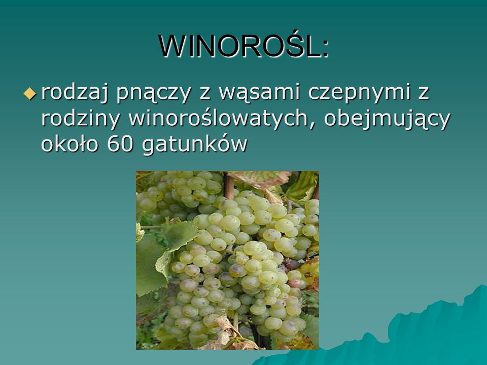 WINOROŚL: rodzaj pnączy z wąsami czepnymi z rodziny winoroślowatych, obejmujący około 60 gatunków