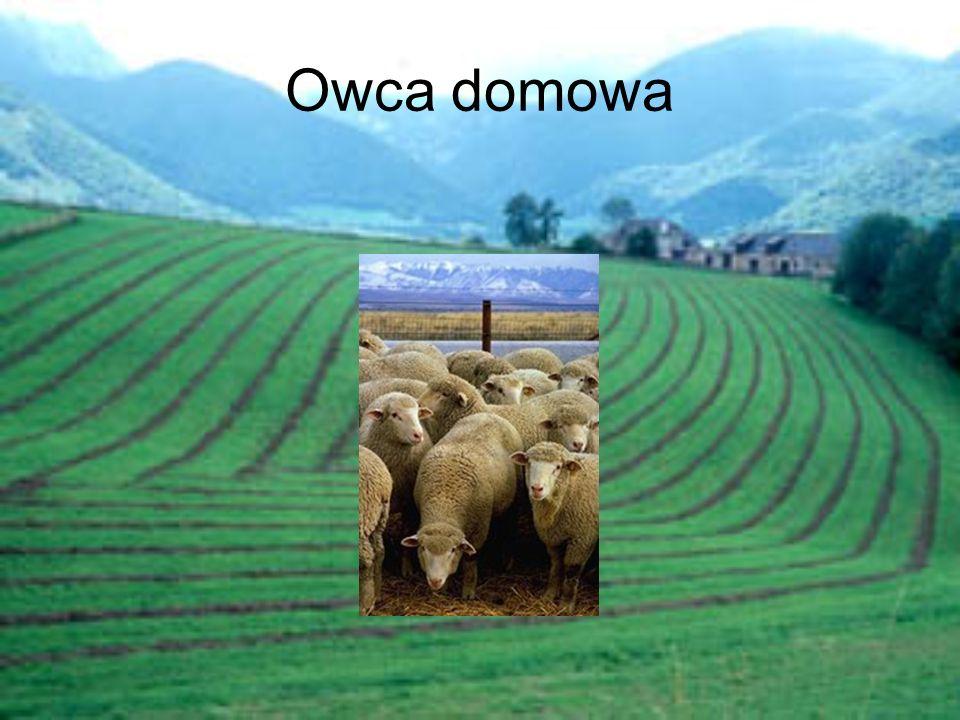 Owca domowa