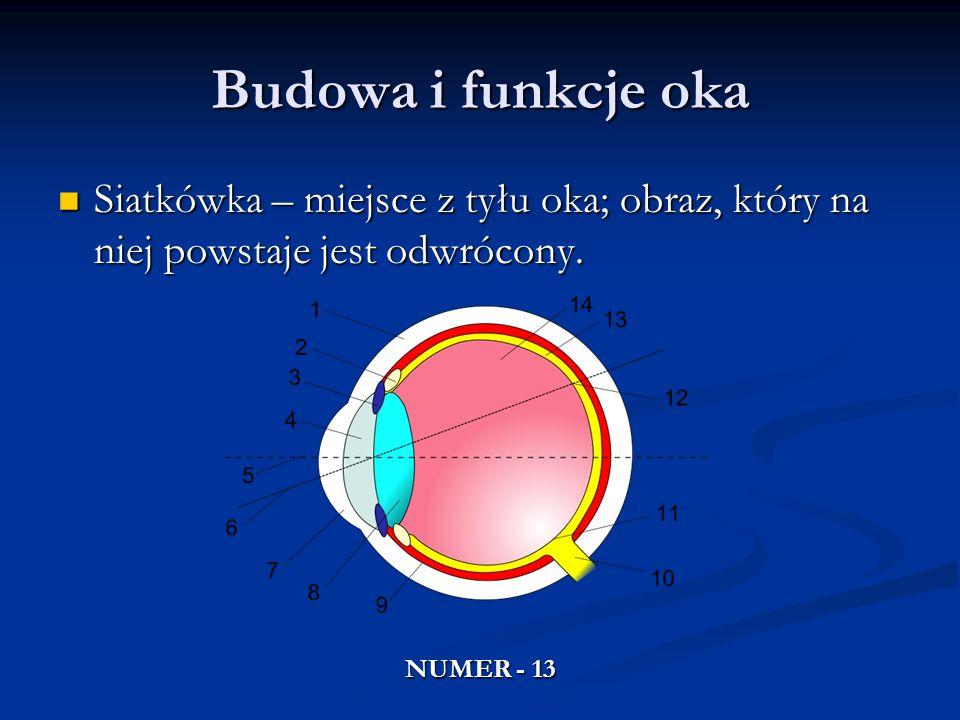 Budowa i funkcje okaSiatkówka – miejsce z tyłu oka; obraz, który na niej powstaje jest odwrócony.