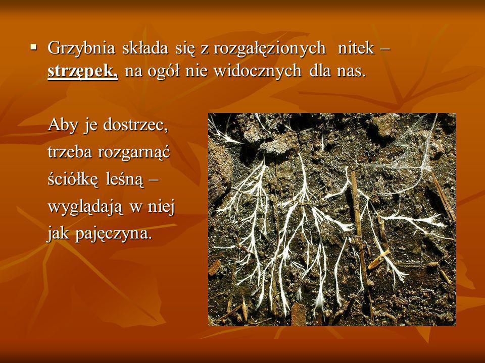 Grzybnia składa się z rozgałęzionych nitek – strzępek, na ogół nie widocznych dla nas.