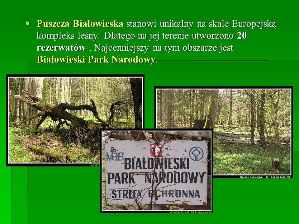 Puszcza Białowieska stanowi unikalny na skalę Europejską kompleks leśny.