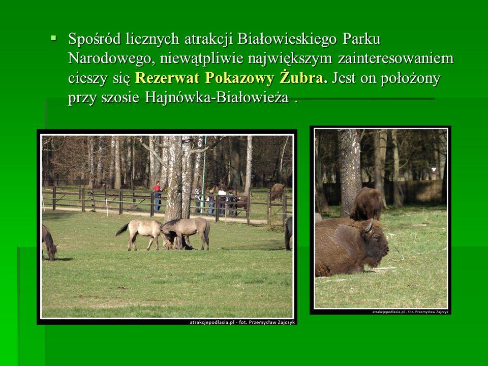 Spośród licznych atrakcji Białowieskiego Parku Narodowego, niewątpliwie największym zainteresowaniem cieszy się Rezerwat Pokazowy Żubra.