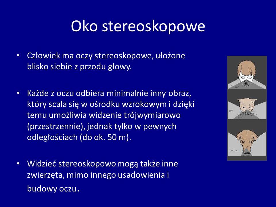 Oko stereoskopowe Człowiek ma oczy stereoskopowe, ułożone blisko siebie z przodu głowy.
