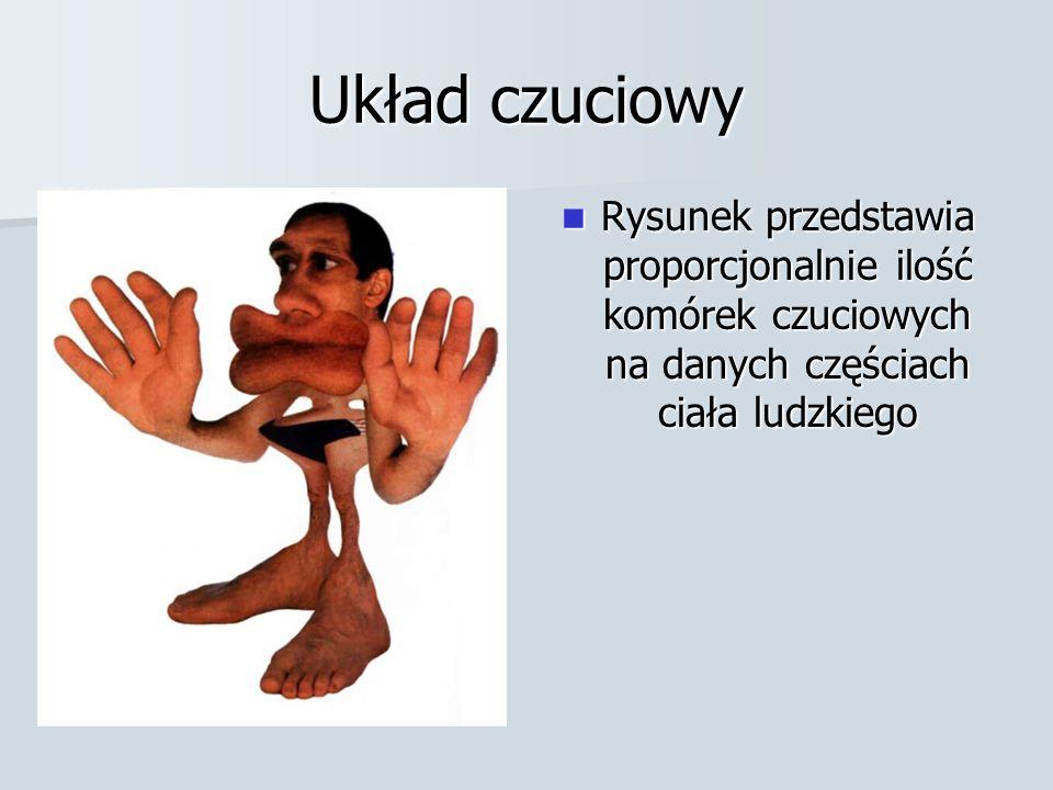 Układ czuciowy Rysunek przedstawia proporcjonalnie ilość komórek czuciowych na danych częściach ciała ludzkiego.