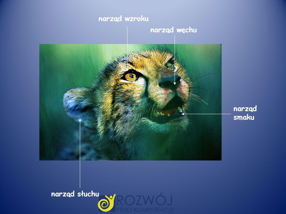 narząd wzroku narząd węchu narząd smaku narząd słuchu