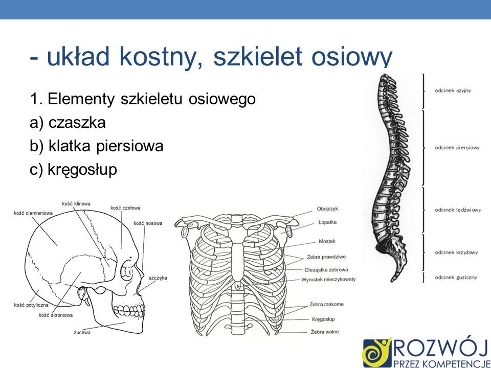 - układ kostny, szkielet osiowy