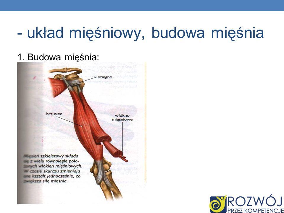 - układ mięśniowy, budowa mięśnia