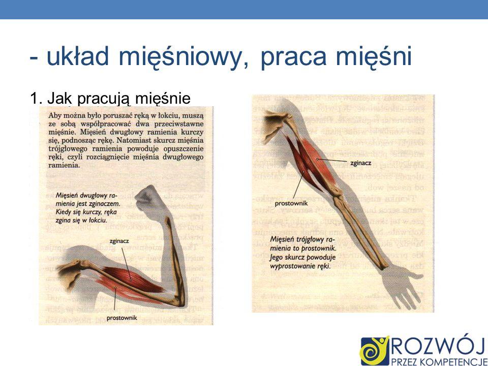 - układ mięśniowy, praca mięśni