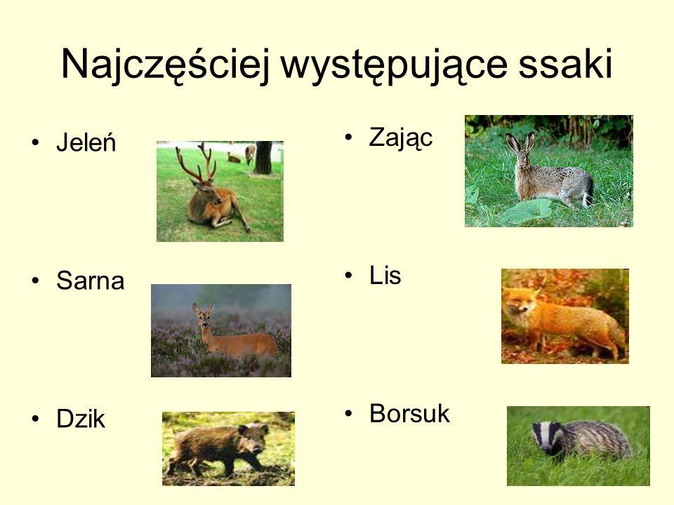 Najczęściej występujące ssaki