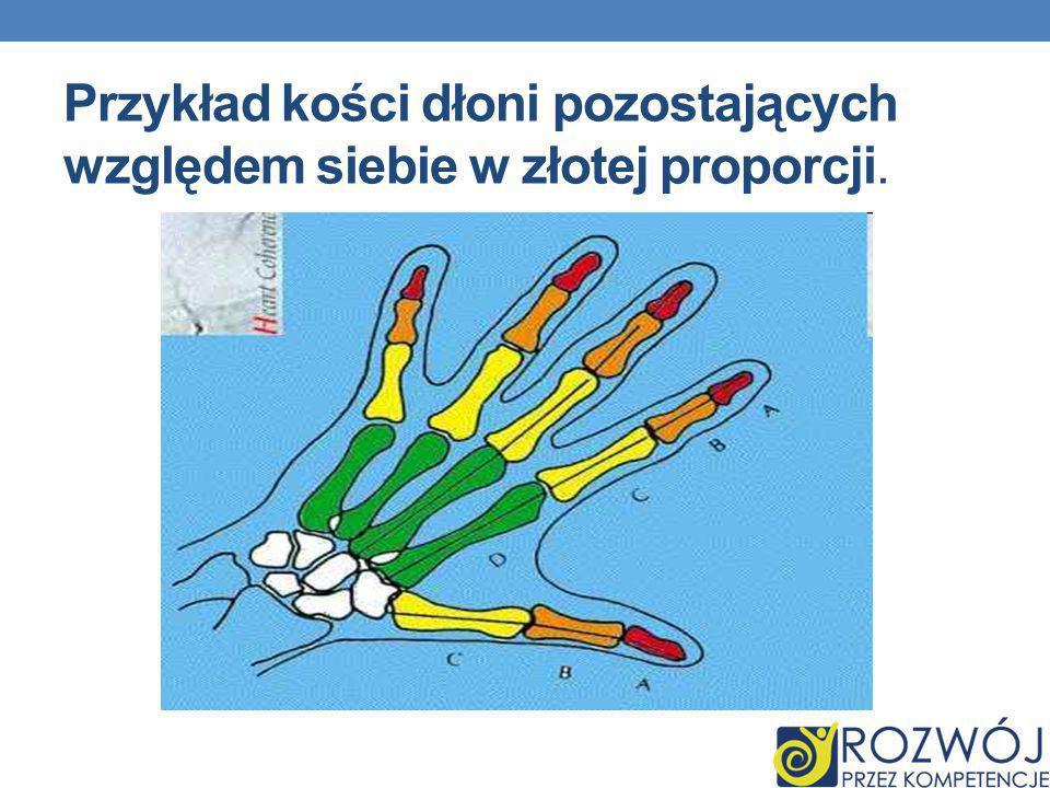 Przykład kości dłoni pozostających względem siebie w złotej proporcji.