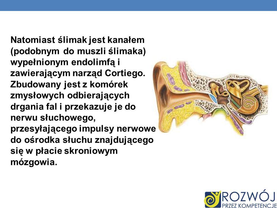 Natomiast ślimak jest kanałem (podobnym do muszli ślimaka) wypełnionym endolimfą i zawierającym narząd Cortiego.