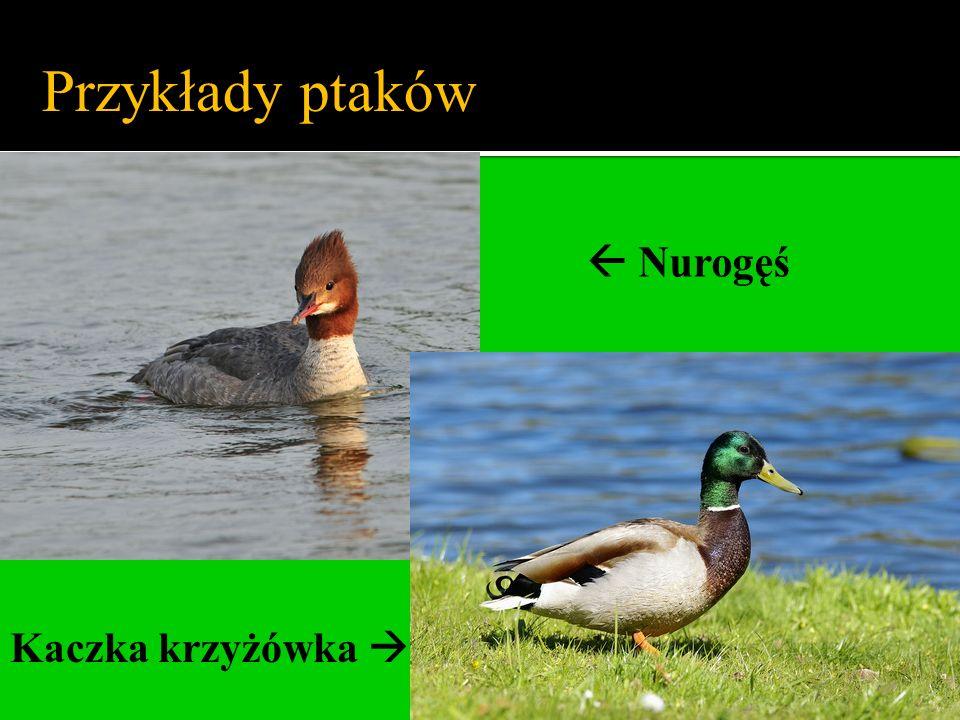 Przykłady ptaków  Nurogęś Kaczka krzyżówka 