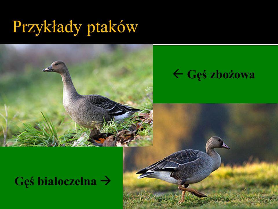 Przykłady ptaków  Gęś zbożowa Gęś białoczelna 
