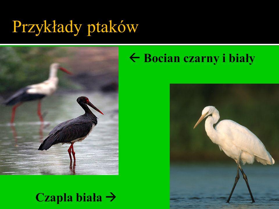 Przykłady ptaków  Bocian czarny i biały Czapla biała 
