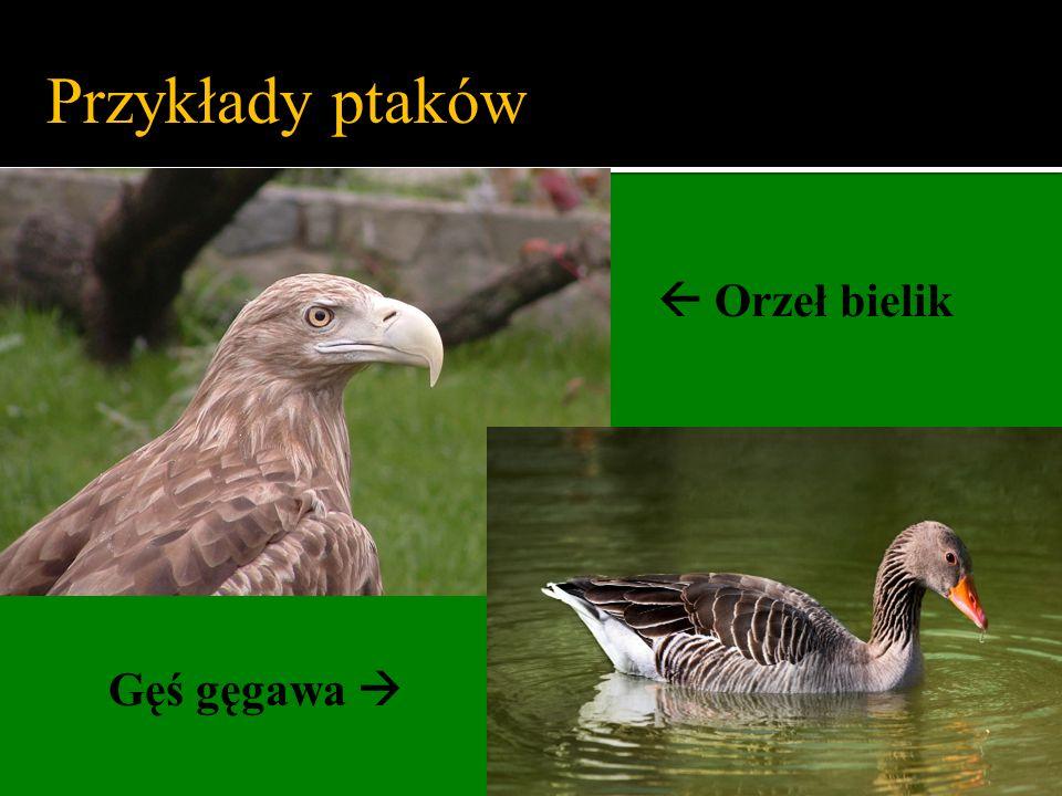 Przykłady ptaków  Orzeł bielik Gęś gęgawa 