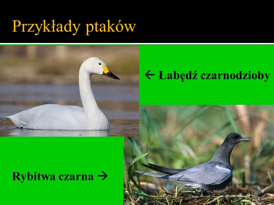 Przykłady ptaków  Łabędź czarnodzioby Rybitwa czarna 