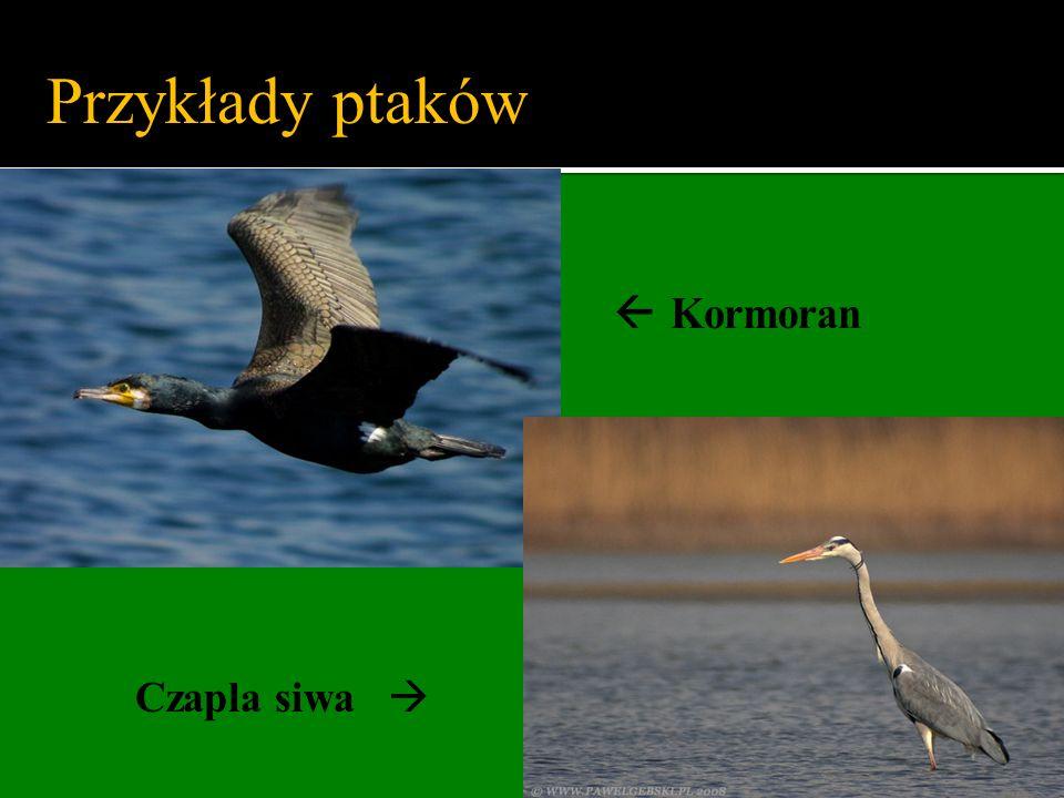 Przykłady ptaków  Kormoran Czapla siwa 