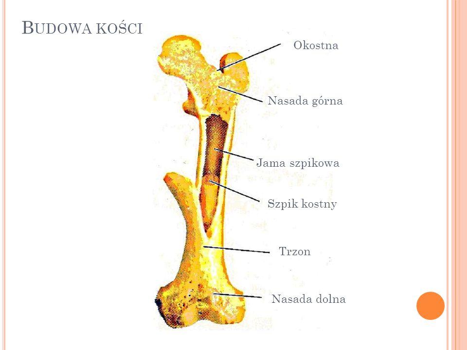 Budowa kości Okostna Nasada górna Jama szpikowa Szpik kostny Trzon