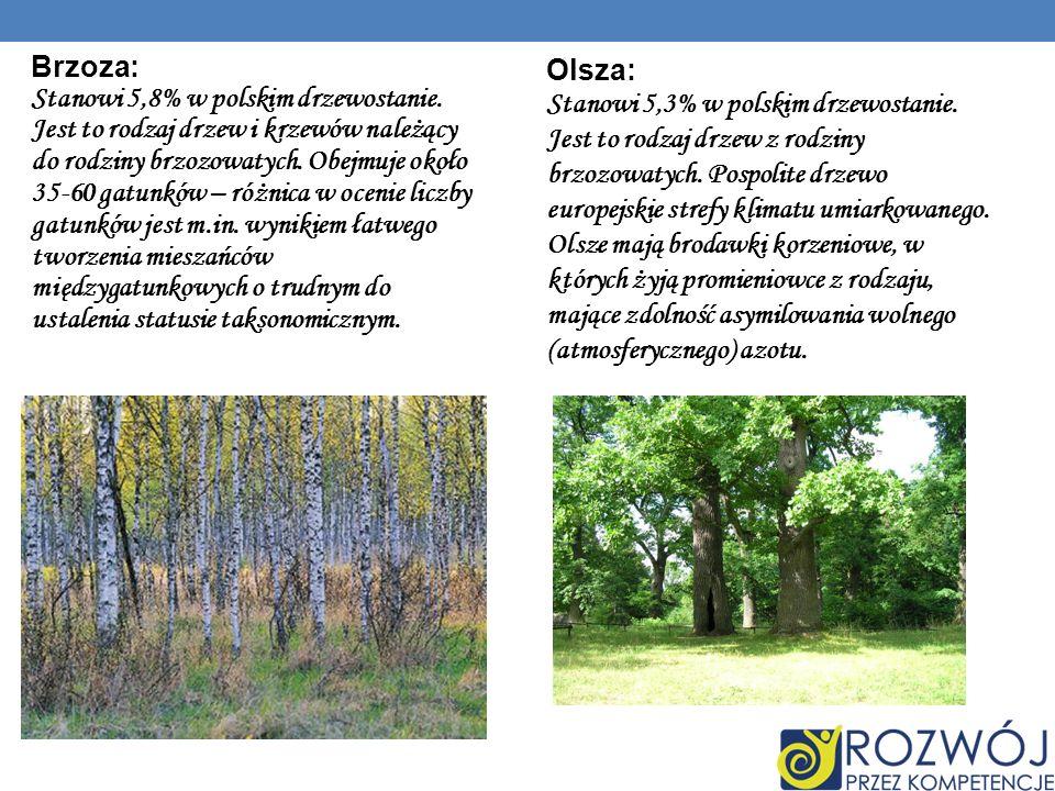 Brzoza: Stanowi 5,8% w polskim drzewostanie.