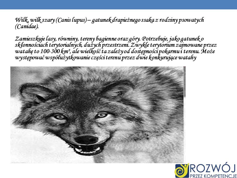 Wilk, wilk szary (Canis lupus) – gatunek drapieżnego ssaka z rodziny psowatych (Canidae).