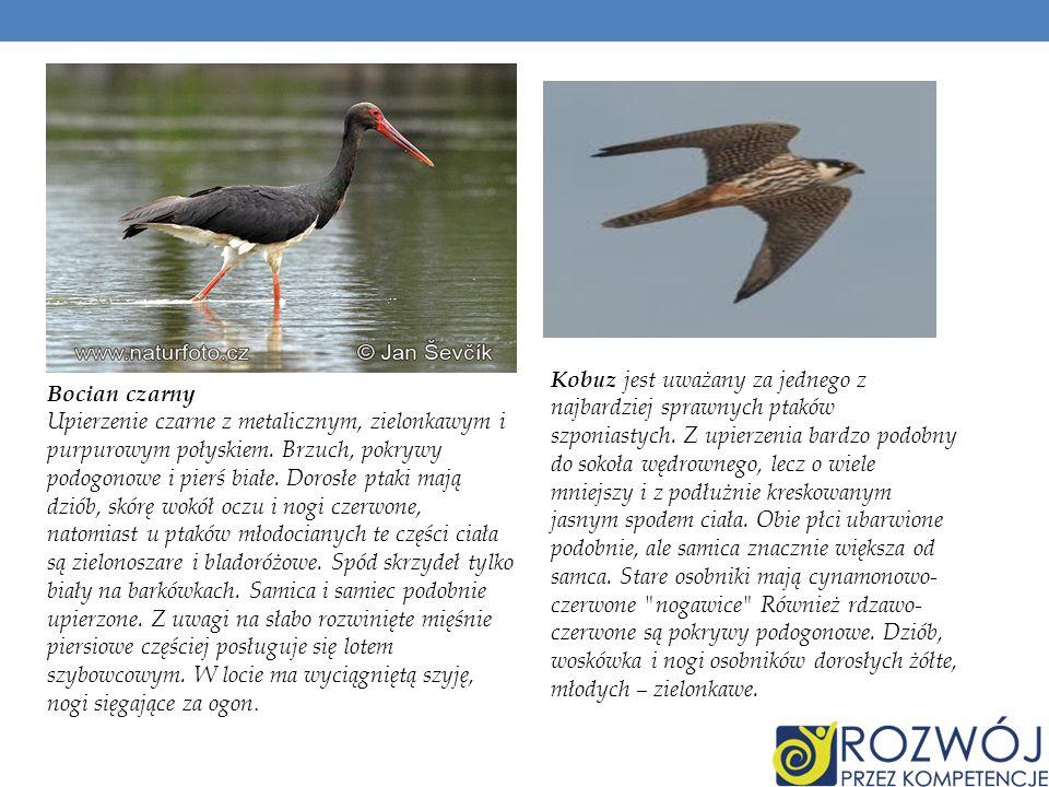 Kobuz jest uważany za jednego z najbardziej sprawnych ptaków szponiastych. Z upierzenia bardzo podobny do sokoła wędrownego, lecz o wiele mniejszy i z podłużnie kreskowanym jasnym spodem ciała. Obie płci ubarwione podobnie, ale samica znacznie większa od samca. Stare osobniki mają cynamonowo-czerwone nogawice Również rdzawo-czerwone są pokrywy podogonowe. Dziób, woskówka i nogi osobników dorosłych żółte, młodych – zielonkawe.